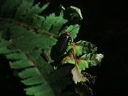 京都水族館で「ほたるの夜」 約160匹展示、間近で観察も