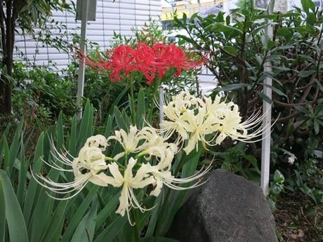 白と赤の彼岸花が並んでいた