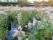 京都「朱雀の庭」でフジバカマ300株 夜間ライトアップも
