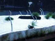 京都水族館に111匹のチンアナゴ 捕食風景や泳ぐ姿を動画で紹介