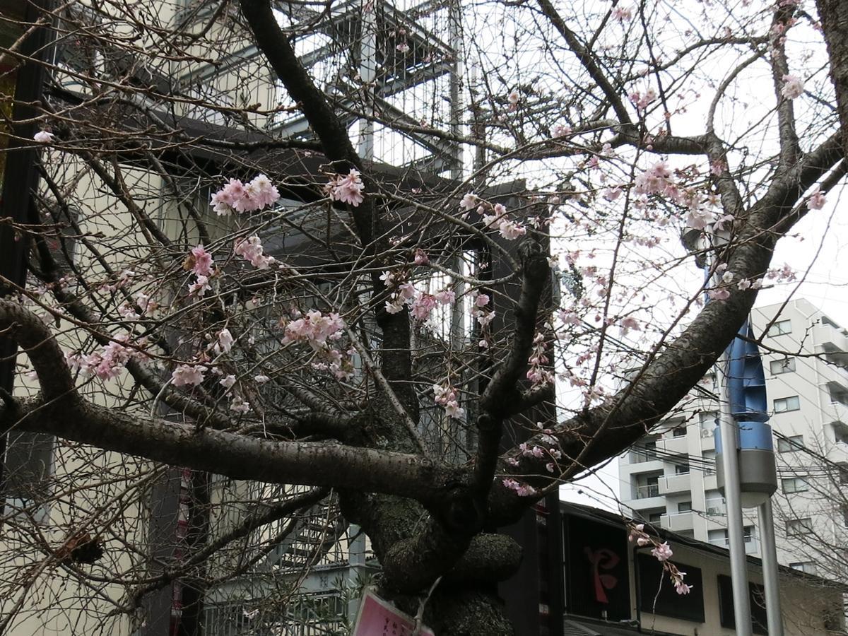 花が咲き始めた御池桜