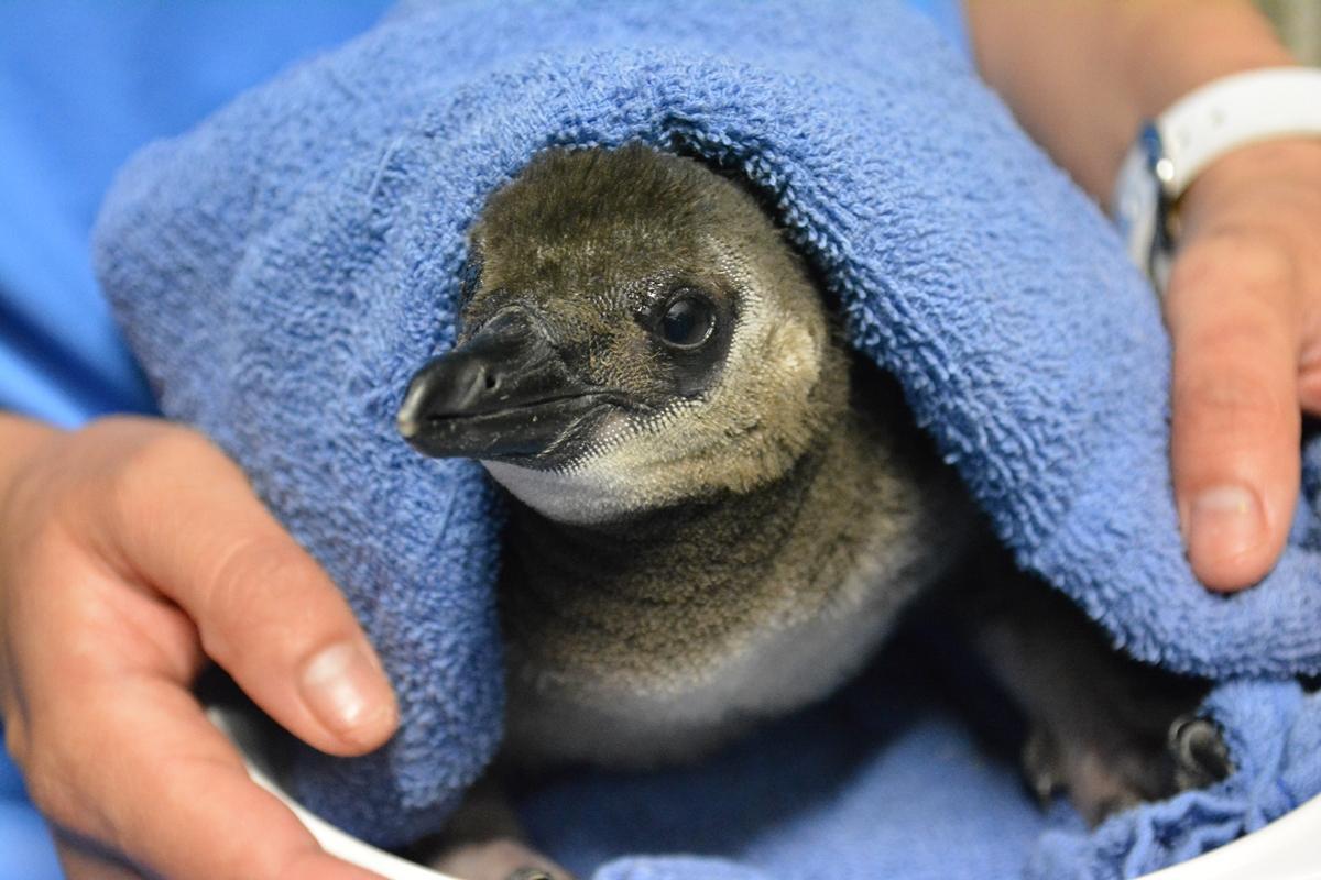 名前を募集しているペンギンのヒナ
