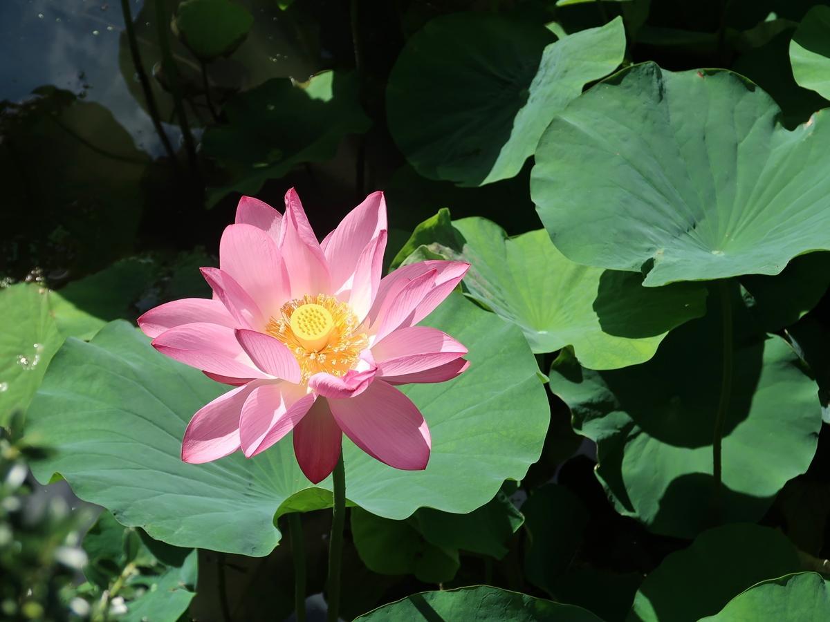 梅雨明けの日差しを浴びるハスの花