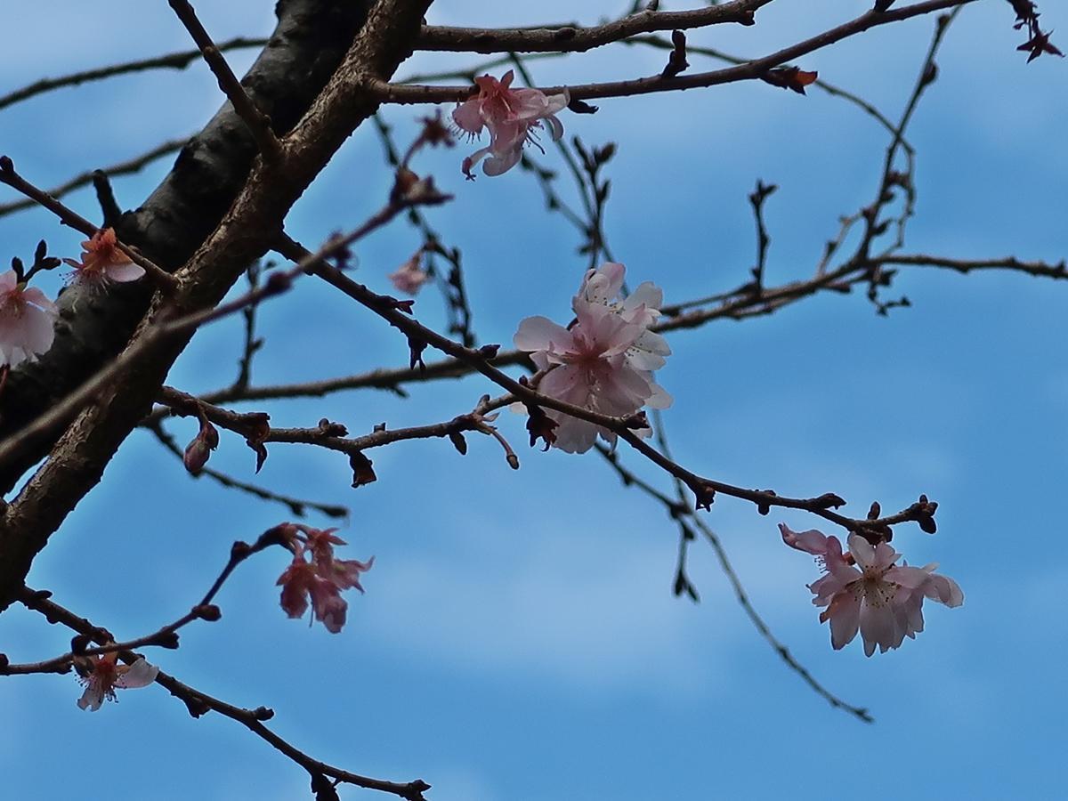 御池通の早咲き桜