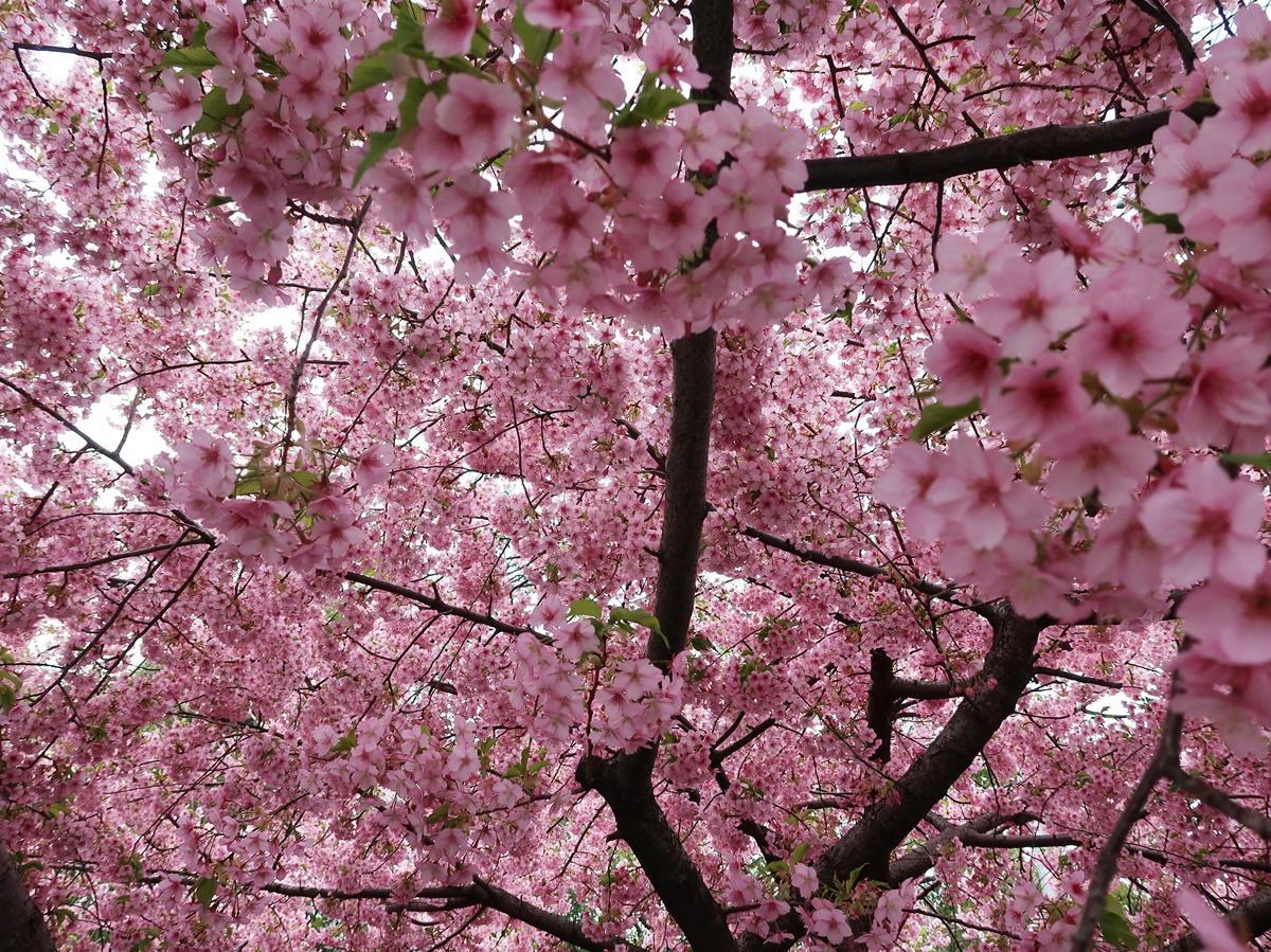 満開を迎えた一条戻橋の河津桜