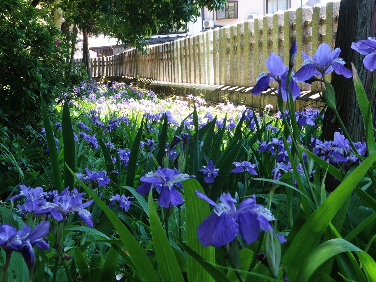 御霊神社のイチハツの花