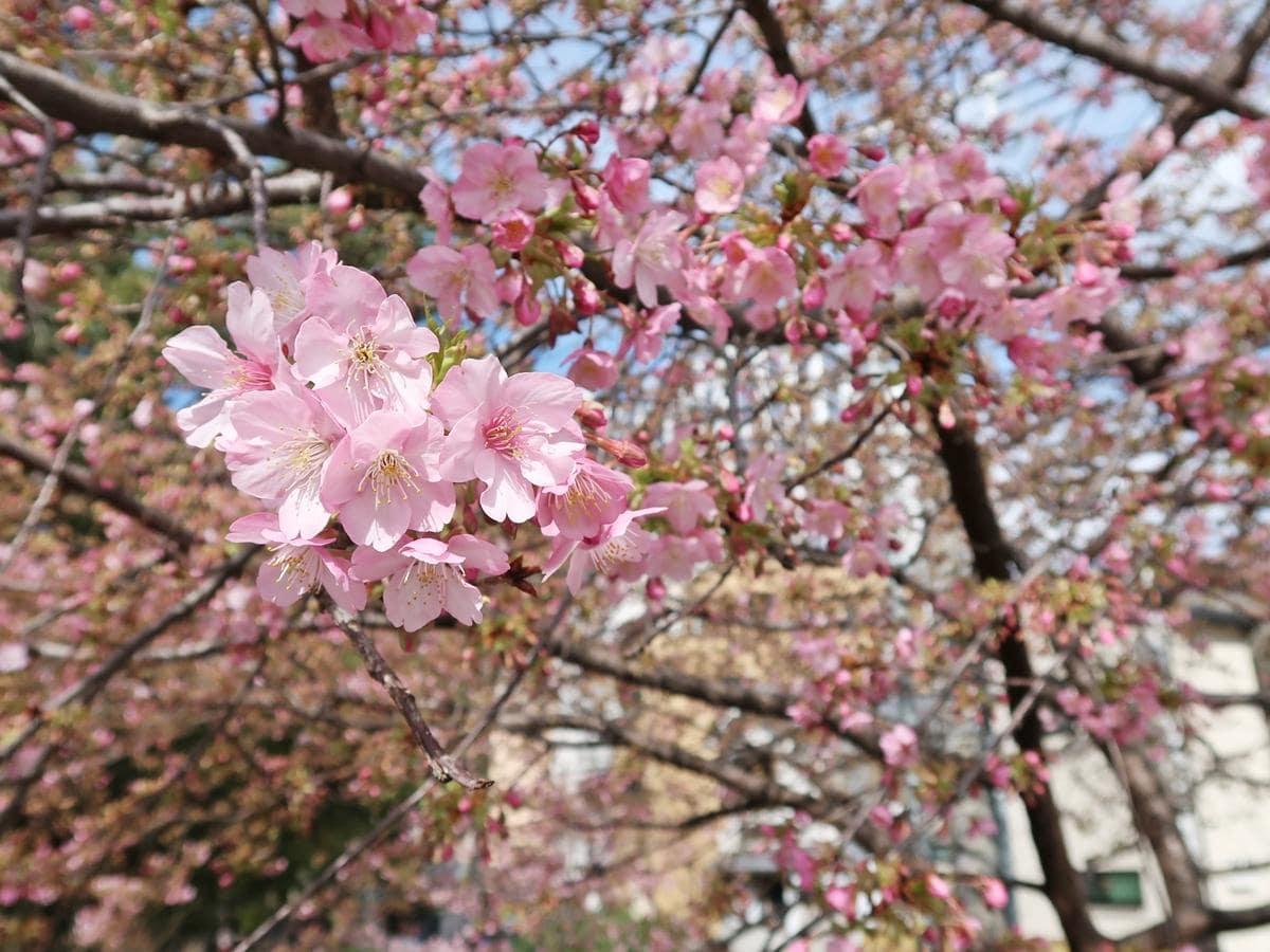 青空の下咲く河津桜