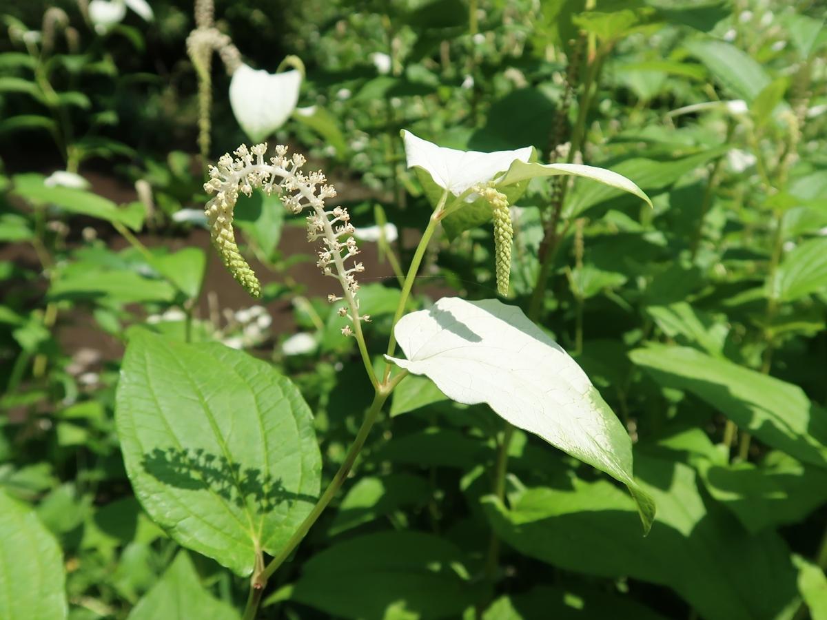 ハンゲショウの花と葉