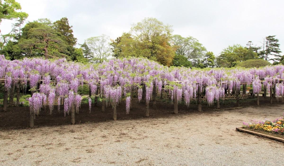 藤花園にある樹齢1200年といわれるフジ