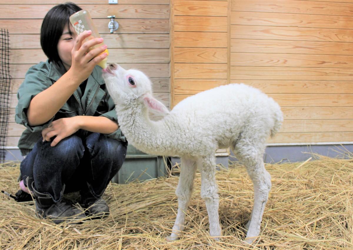 ミルクを飲むアルパカの赤ちゃん。1回200ミリリットルを1日に5回飲む