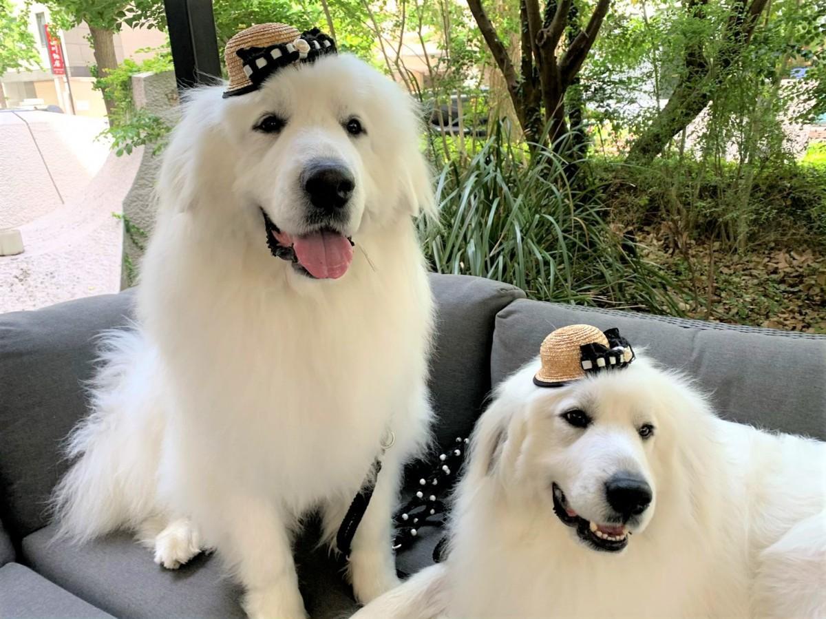 犬用麦わら帽子を着用したパリンちゃんとリボンちゃん