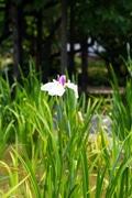 堀切菖蒲園の「花しょうぶ」が開花-例年より半月以上早く
