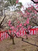 足立・大谷田公園で「梅まつり」-梅テーマに投句教室も