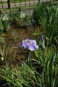 葛飾区のショウブ園で「一番花」が開花-今年の見頃は6月10日前後