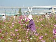 葛飾の土手でコスモスの花摘み行事-地元園児が種まき手伝い
