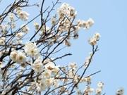 堀切菖蒲園で「雪つり」外される-梅が見頃に、ハナショウブの新芽も