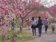 早い春の訪れを梅の花で楽しむ 越生で「梅まつり」開催へ