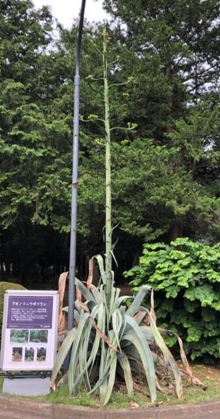 巨大植物「アオノリュウゼツラン」
