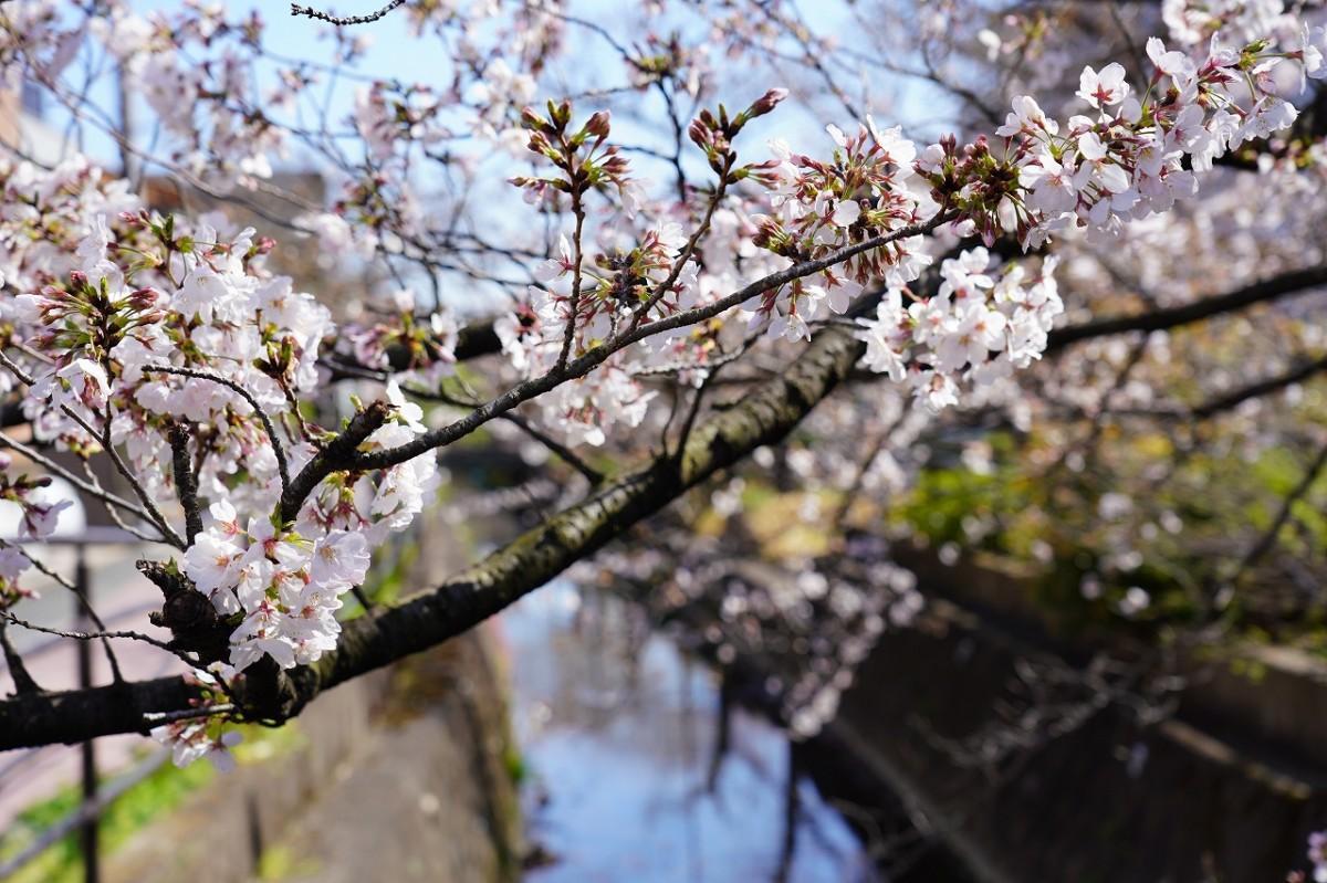 「二ヶ領用水」と桜