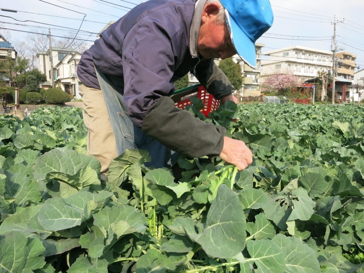 のらぼう菜を収穫する高橋孝次さん