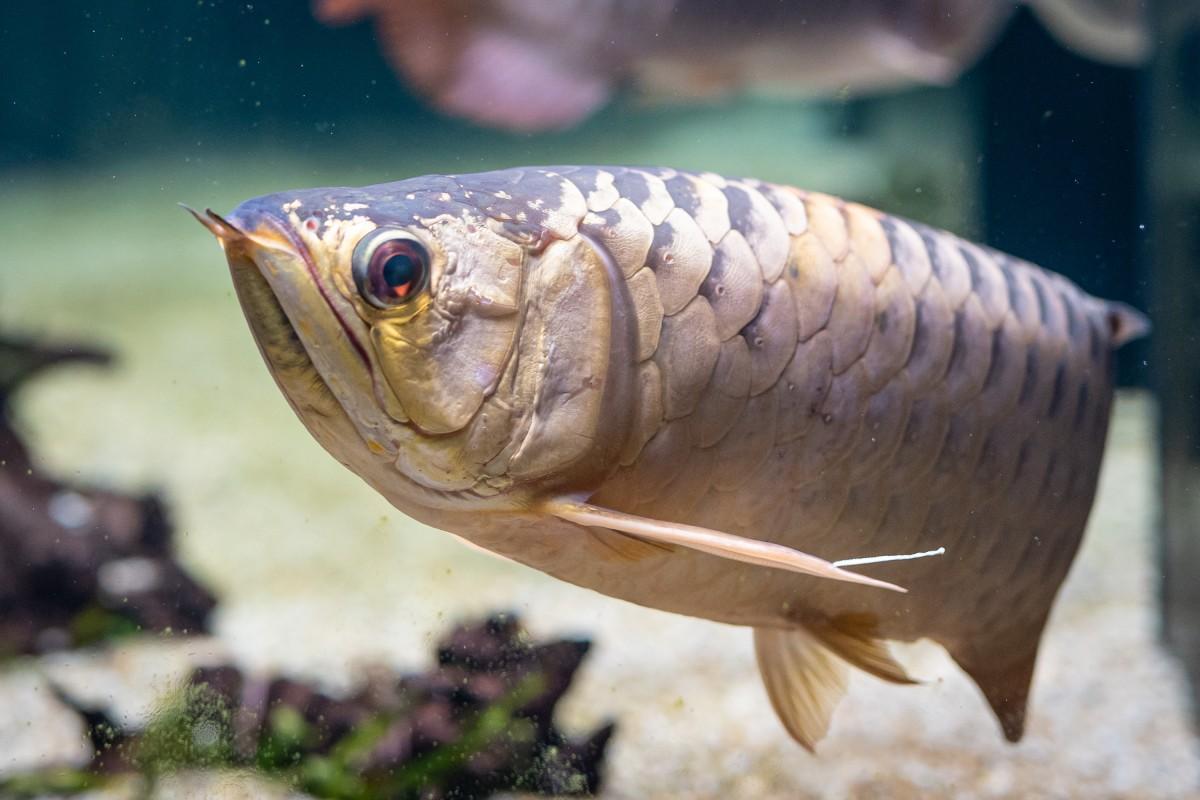 カワスイ川崎水族館の髙橋和來さんから「私の一押しはオセアニア・アジアゾーンのアジアアロワナ」と推奨されているアジアアロワナ