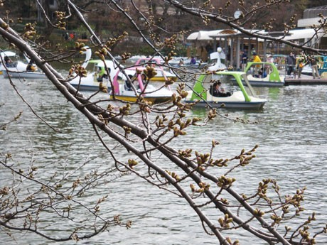 つぼみが膨らみ開花間近の井の頭公園の桜(3月27日撮影)