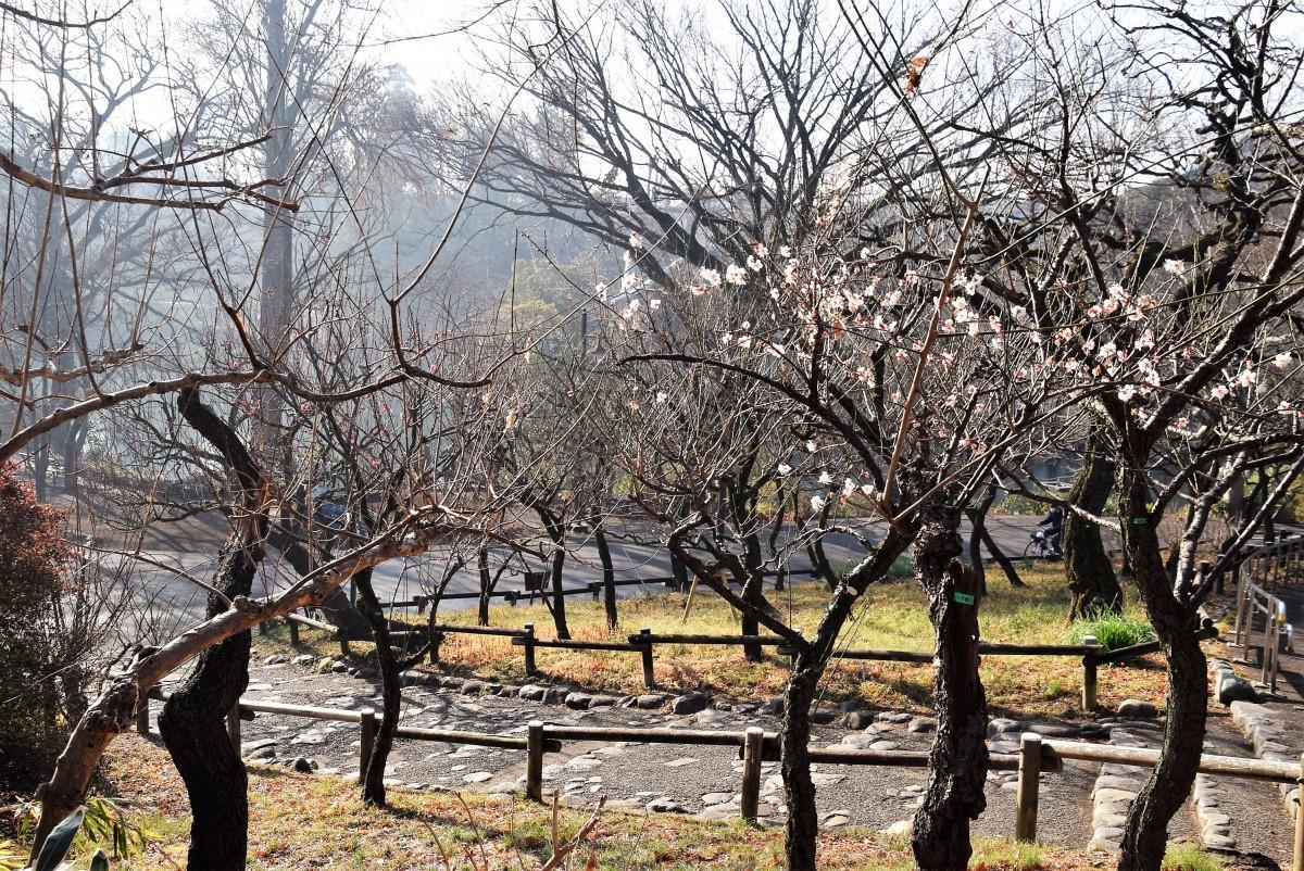 井の頭公園の弁財天に続く斜面に広がる梅園