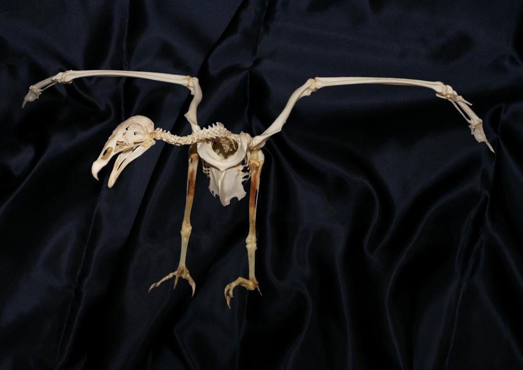「とぶモノ展」に展示されるヒメコンドル