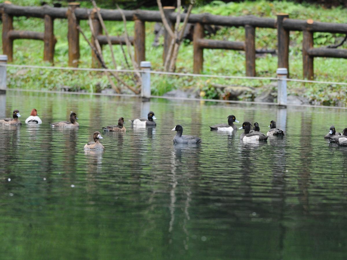 井の頭池のカモの群れ