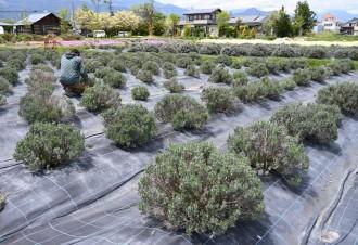 池田町産ラベンダー100%のアロマオイル発売 無農薬ハーブで新規開拓狙う