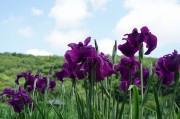 東村山で菖蒲まつり ライトアップや花摘み娘も