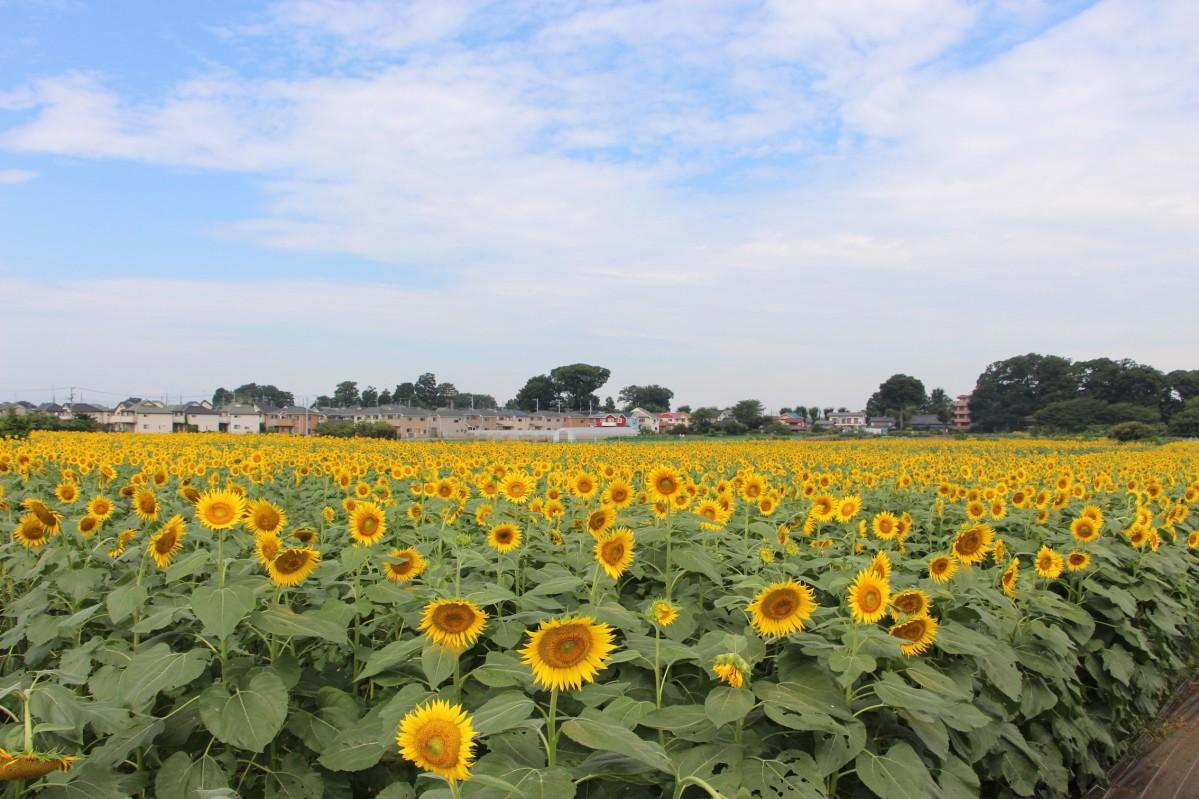 例年約10万本のひまわりが都内最大級の畑に咲き誇る