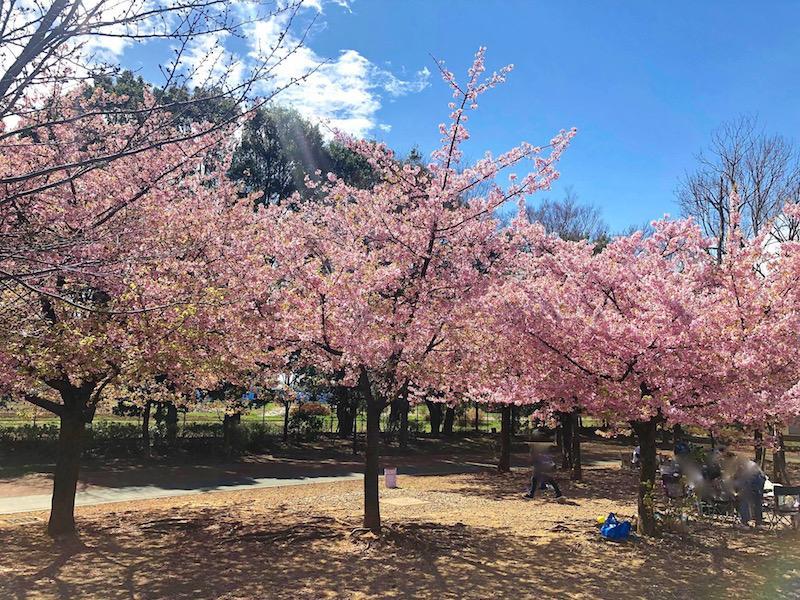 原っぱ広場に咲く満開の河津桜(3月21日現在)