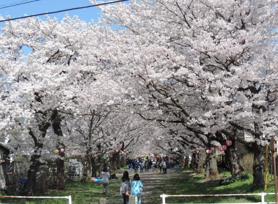「多摩湖町さくらまつり」は毎年3000人近い花見客でにぎわう