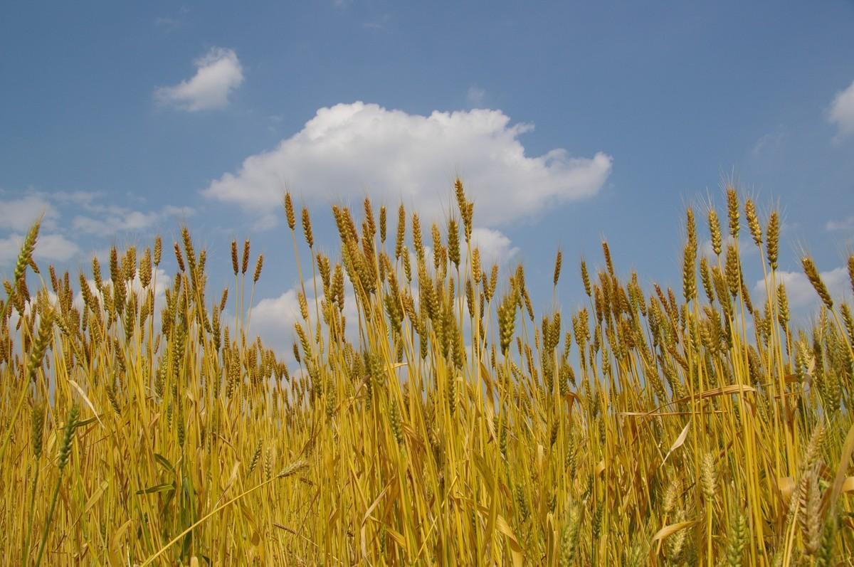 柳久保小麦畑の様子。収穫時には130センチメートルほどに成長する