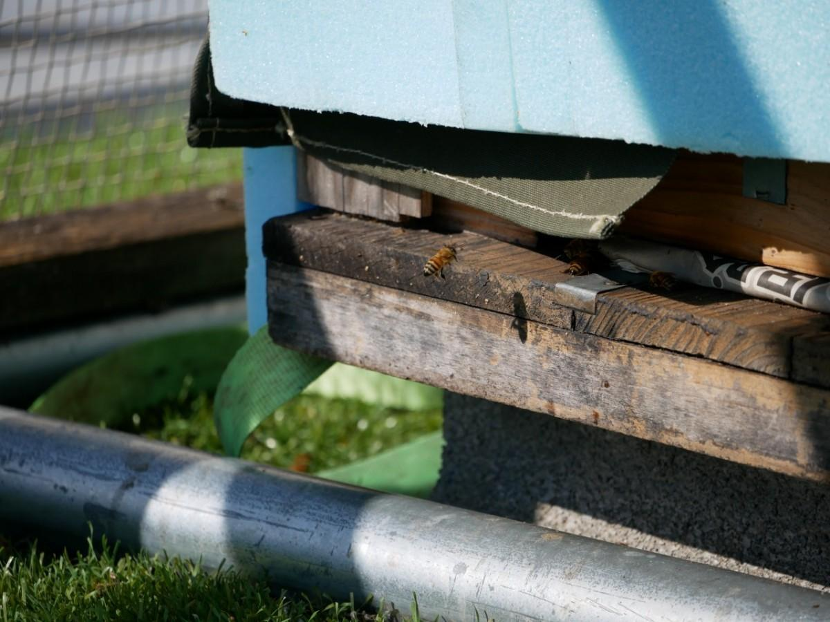住み慣れた巣箱に帰るミツバチ(1月29日撮影)