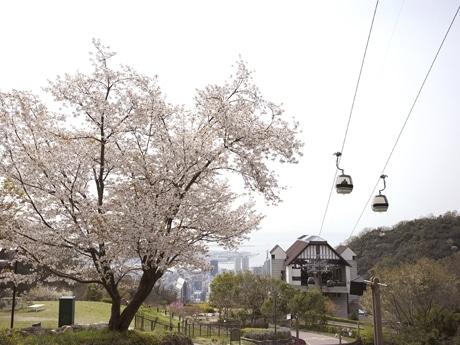 サクラの季節にはロープウエーから見える神戸もピンクに色づく