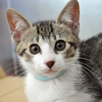 譲渡候補猫「ネオ」(3カ月半、オス)