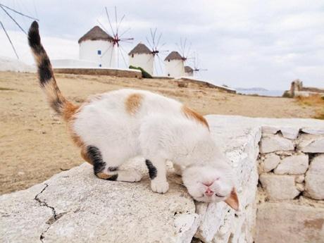 ギリシャ・ミコノス島の猫 &copy MITSUAKI IWAGO