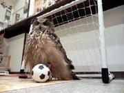 ユーラシアワシミミズクがサッカー 神戸のフクロウカフェ「ビビ&ジョージ」で