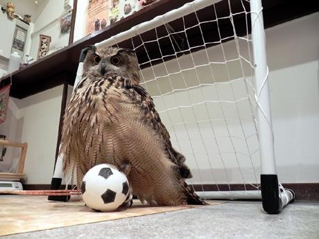 サッカーボールの上に足を置き、ポーズを決めるユーラシアワシミミズクのさくらちゃん