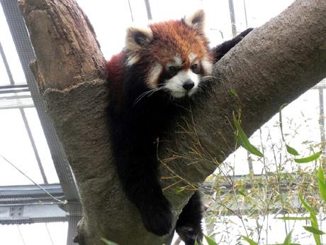 新エリア「アジアの森(Asian Forest)」ではレッサーパンダなどが間近で見ることができる