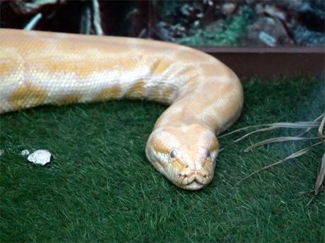 体長約3.5メートル、体重約30キロのビルマニシキヘビ「キルルン」(雌)