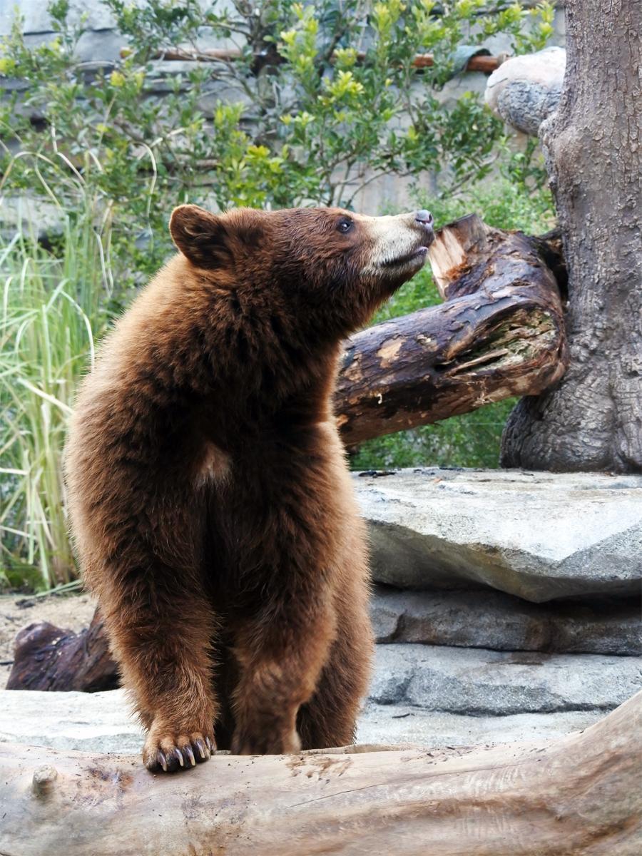 「ベアーキャニオン(BEAR CANYON)」で同施設初の大型猛獣「アメリカクロクマ」を公開
