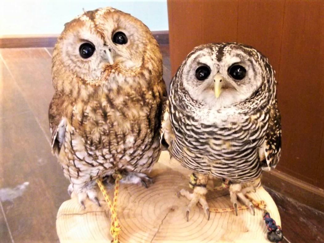 アカアシモリフクロウの「あんこちゃん」(右)とモリフクロウの「こころちゃん」(左)