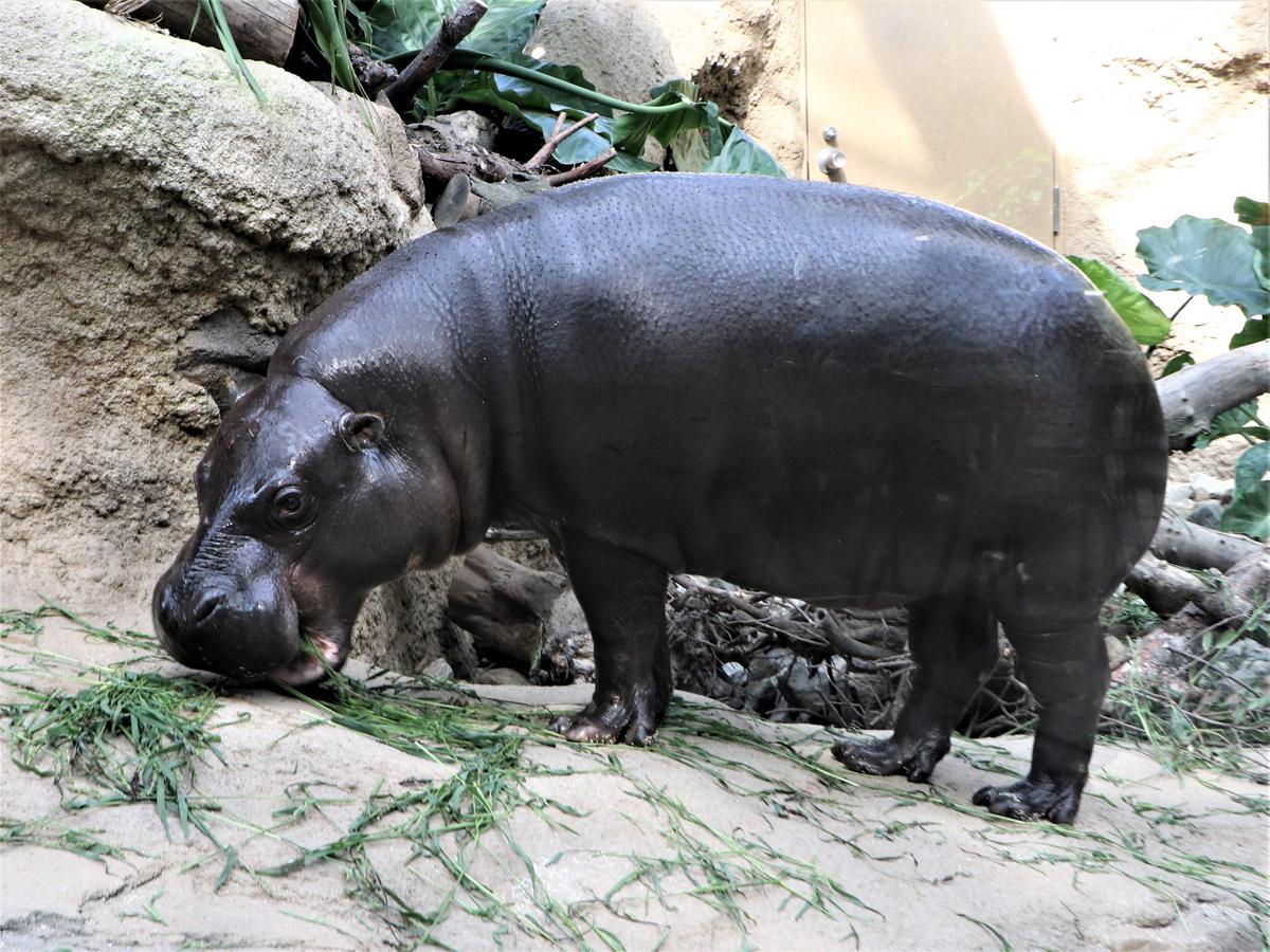 東山動植物園からきたコビトカバの「コウメ」(メス、12歳)