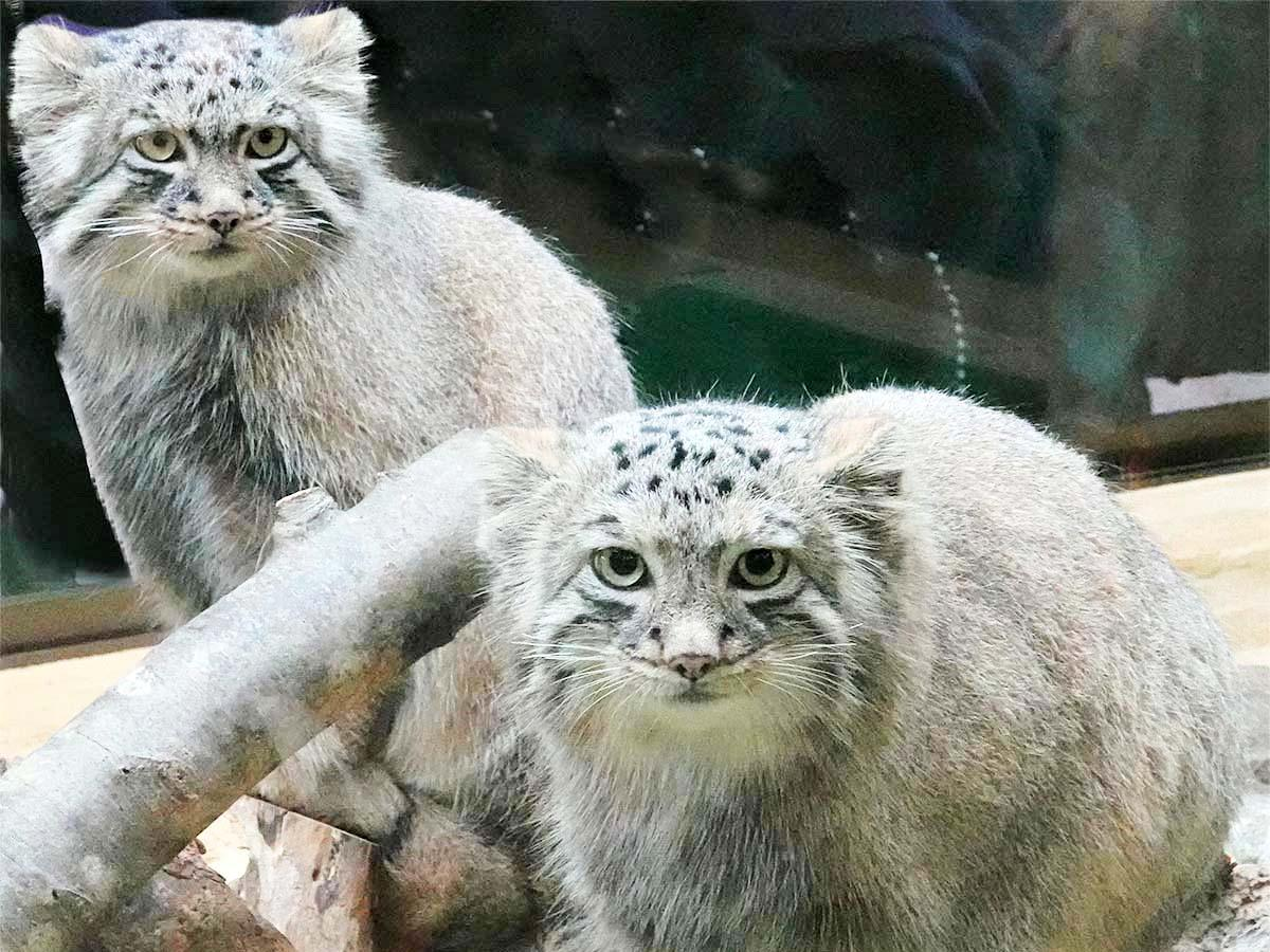 世界最古の猫「マヌルネコ」