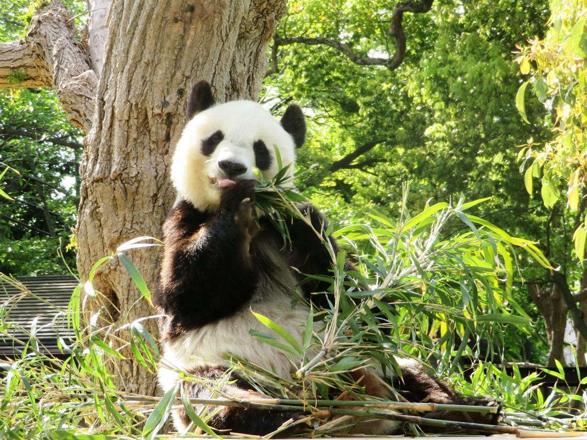 神戸市立王子動物園で一番人気というジャイアントパンダのタンタン
