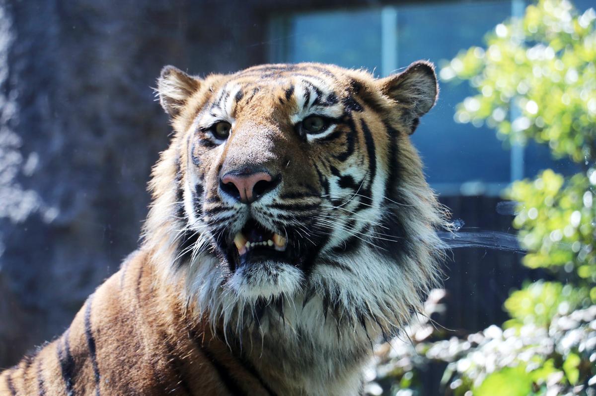 臨時休園により延期していた「神戸どうぶつ王国」初の大型猛獣「スマトラトラ」のパンプ(雄、3歳)も一般公開