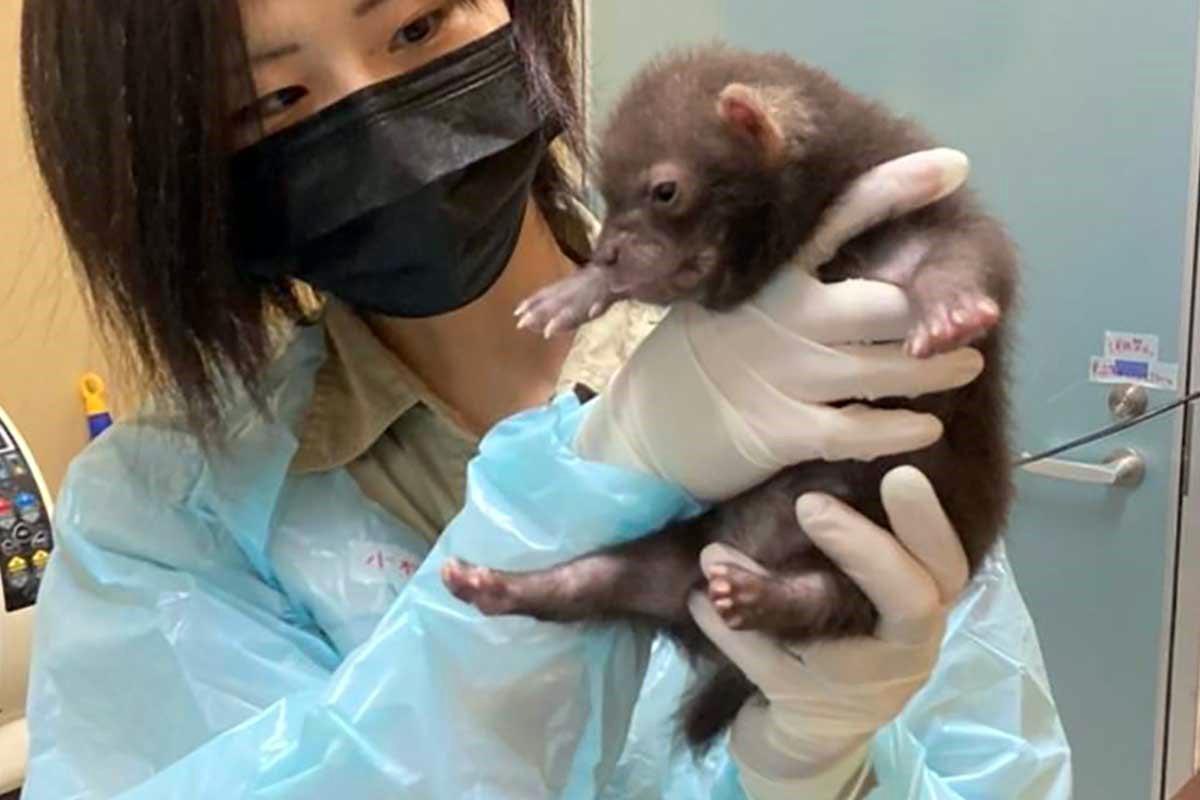 ブッシュドッグ(ヤブイヌ)の赤ちゃんの飼育を担当する小村潤さん